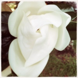 Lady Magnolia, as common a southern grace as sweet tea and afternoon storms, you know...the ones that snag the heat?